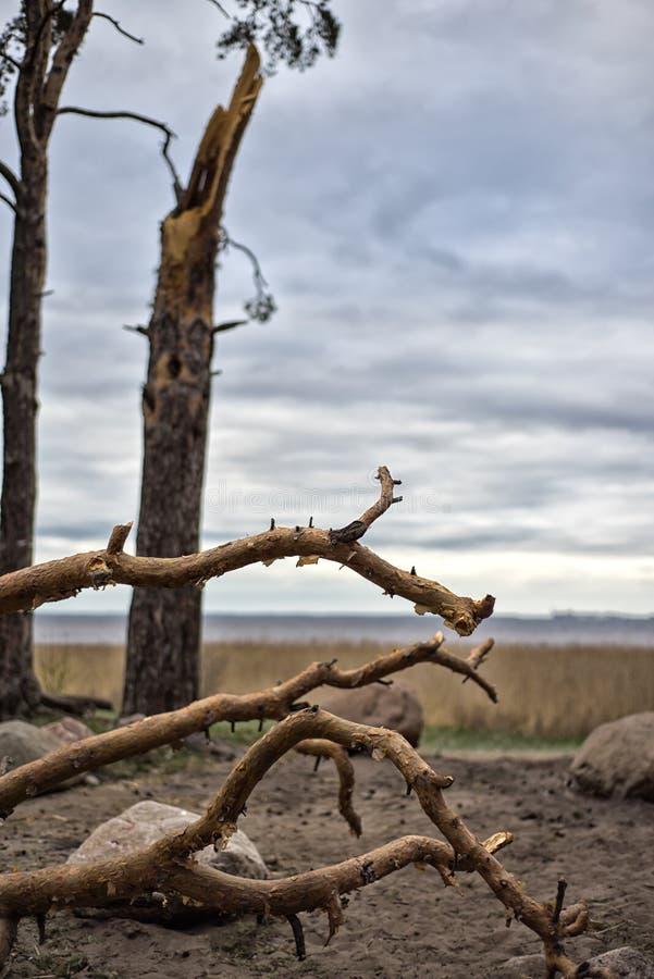 Trombstormskada orsakar en stor mogen lönn för att vara bruten och avverkar på jordningen arkivfoto