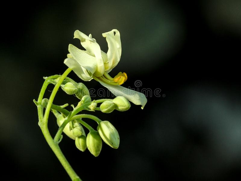 Trommelstok of Sahajan-bloem - natuurlijke viagra stock foto's