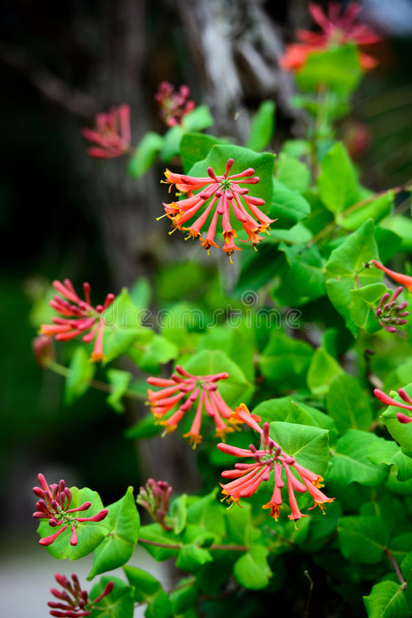 Trompet Honeysuckle Flowers royalty-vrije stock foto's