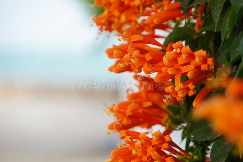 Trompeta anaranjada, flor de llama, vid del petardo en la pared fotografía de archivo libre de regalías