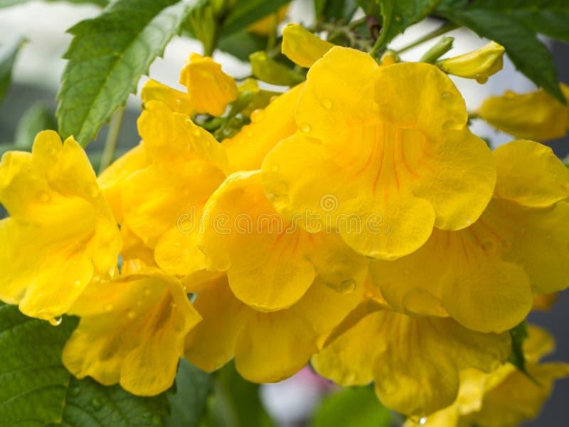 Trompeta-flor amarilla después de la lluvia fotografía de archivo libre de regalías