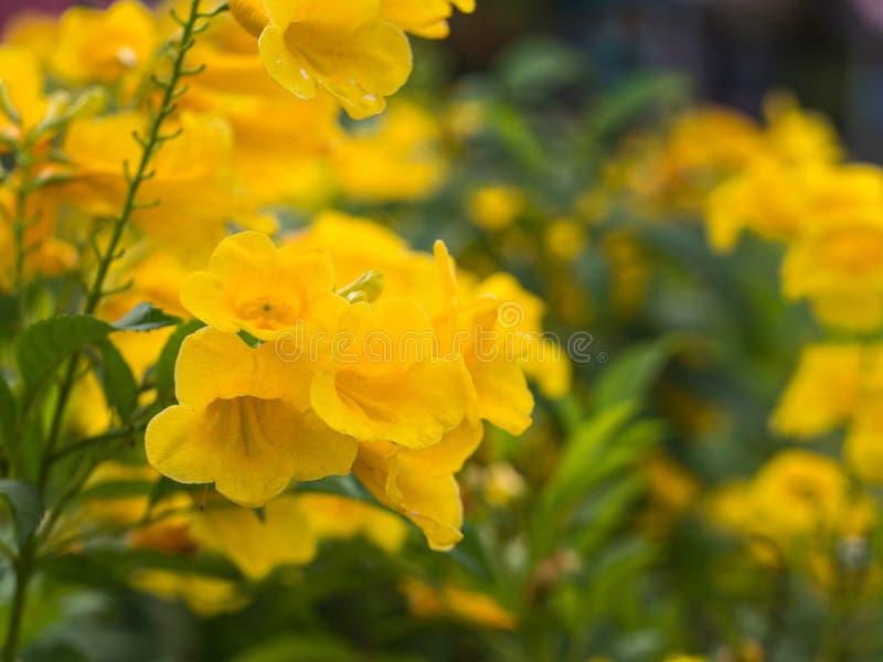 Trompeta-flor amarilla en el jardín imagen de archivo libre de regalías
