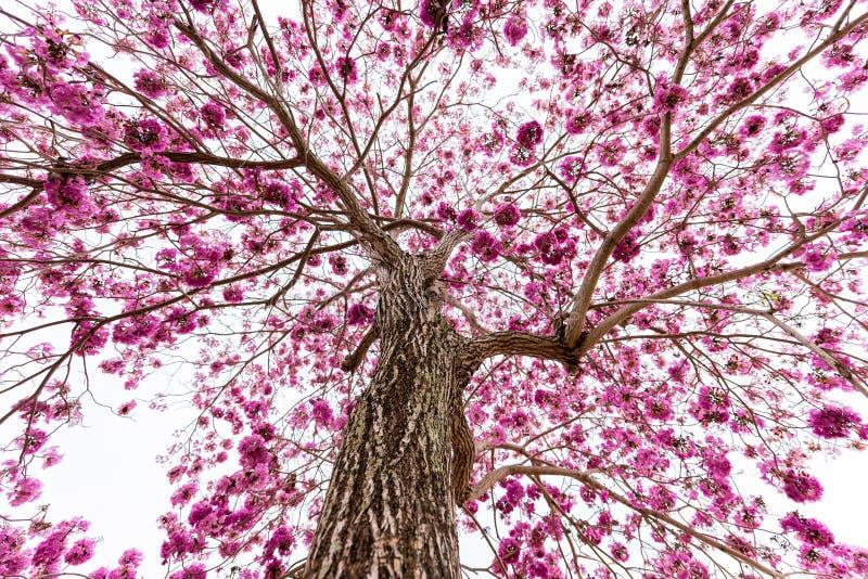 Trompeta rosada en el árbol sin la hoja imágenes de archivo libres de regalías
