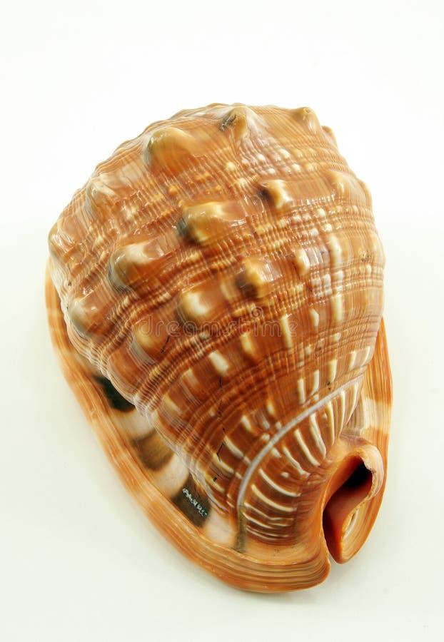Trompetenmuschel stockbild