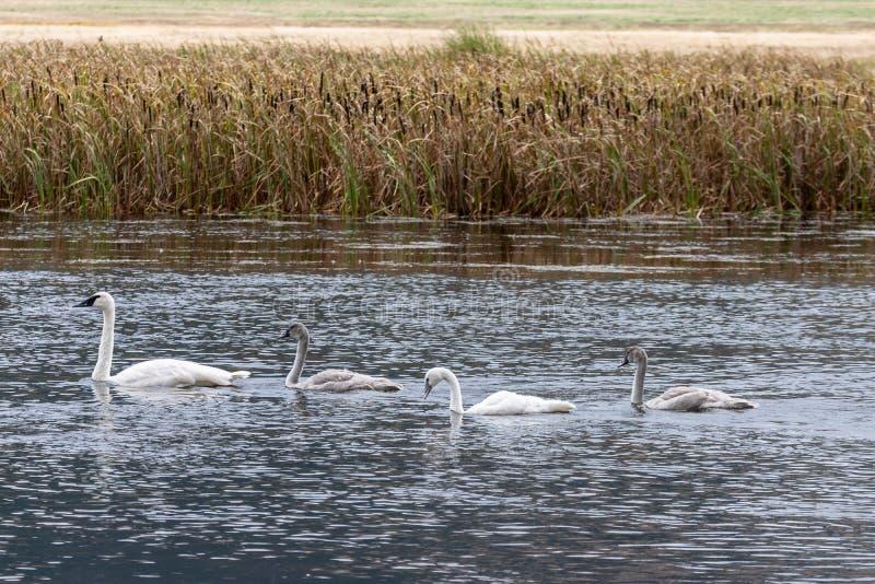 Trompeters-Schwan-Familie, die zusammen in Wyoming schwimmt stockfotos