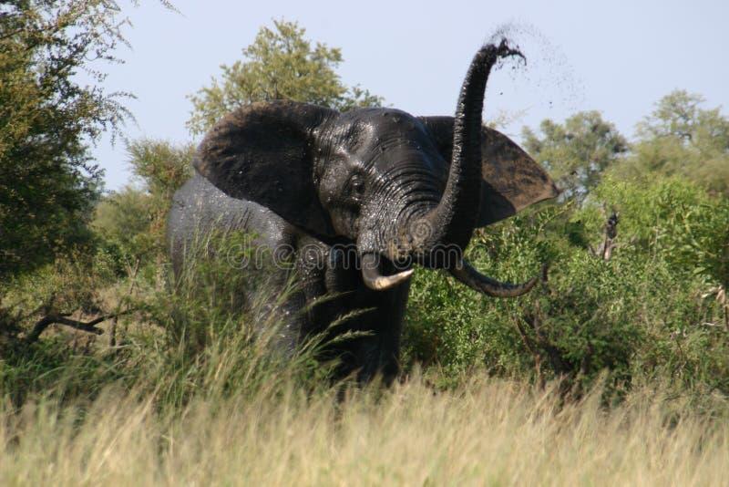 Trompette fâchée d'éléphant photographie stock libre de droits