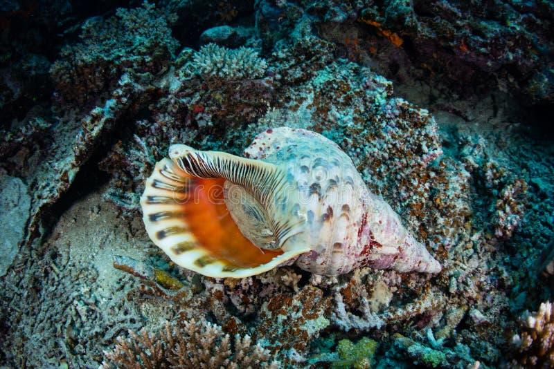 Download Trompette Shell de Triton photo stock. Image du écologie - 77162586