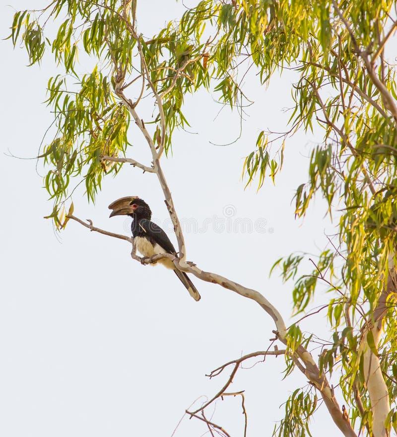 Trompetter Hornbill stock foto's