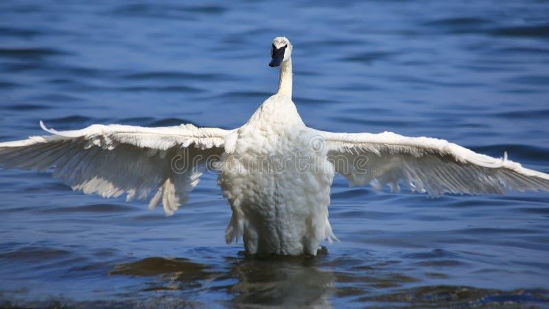 Trompetterzwaan die Te drogen Vleugels uitbreiden stock fotografie