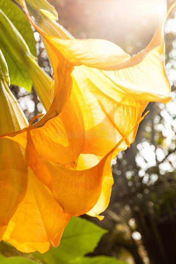 Trompettes d'ange - suaveolens de Brugmansia photographie stock libre de droits