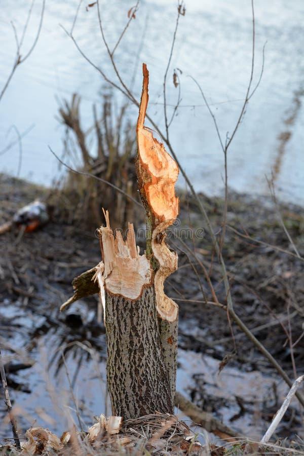 Tronçon d'arbre d'aulne rongé par des castors images stock