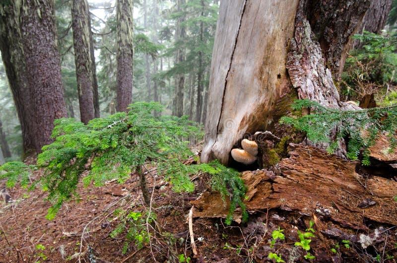 Tronçon d'arbre avec des champignons photos libres de droits
