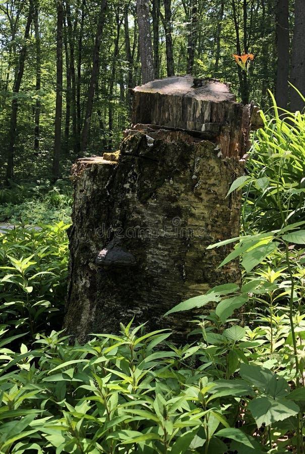 Tronçon d'arbre avec Tiger Lily Friend dedans image libre de droits