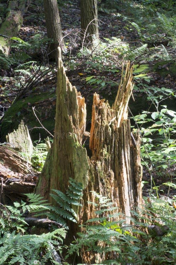 Tronçon d'arbre brisé, préservation de la nature creuse de Conkles photos stock