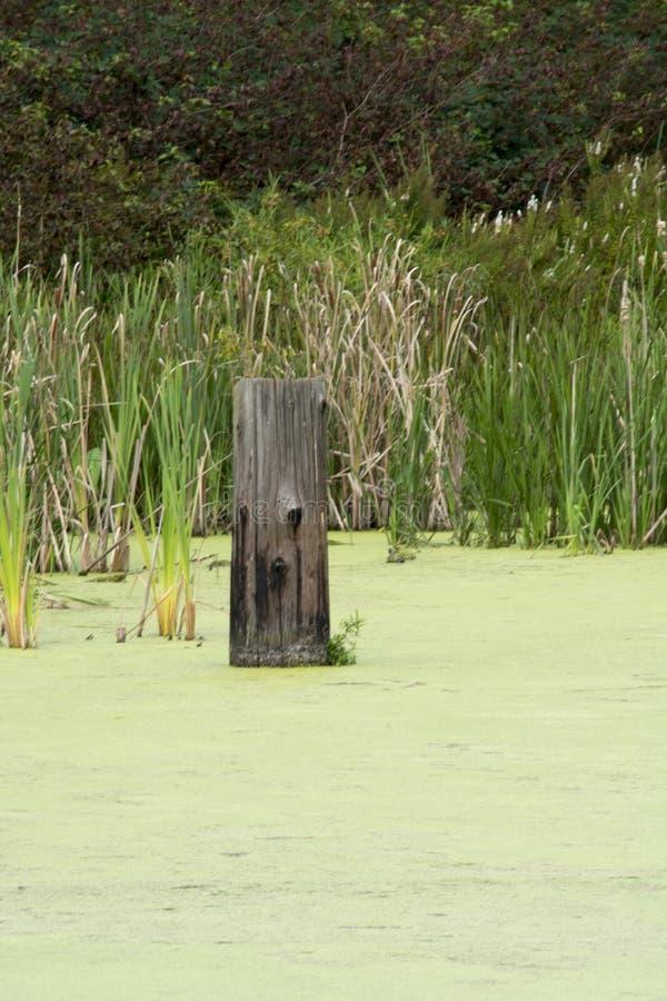 Tronçon d'arbre dans l'eau aux marécages photographie stock libre de droits