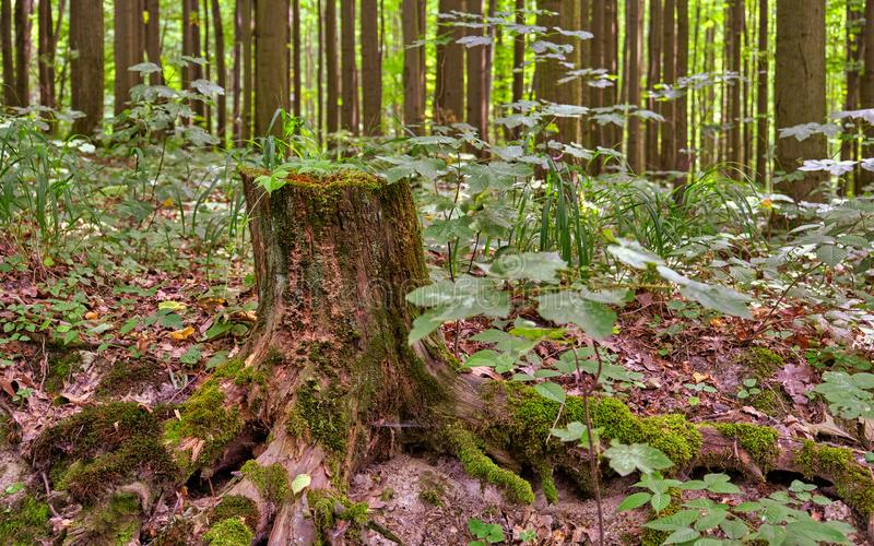 Tronçon d'arbre dans la forêt couverte de la mousse photos stock