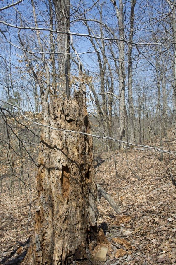 Tronçon d'arbre de décomposition dans la forêt de thé images stock