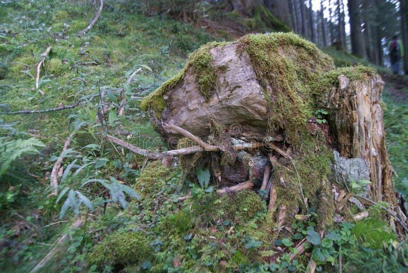 Tronçon d'arbre envahi avec de la mousse images libres de droits