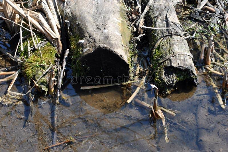 Tronçon d'arbre sec coupé couvert de roseaux secs et de mousse s'étendant le long de la crique image libre de droits