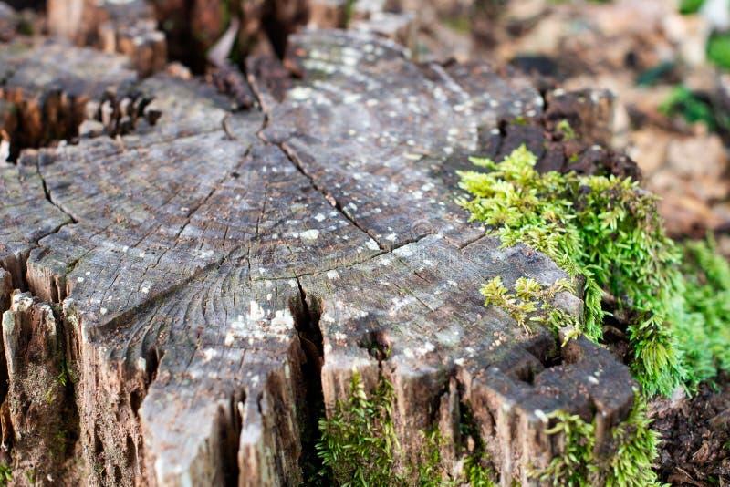 Tronçon d'arbre superficiel par les agents avec de la mousse verte photographie stock