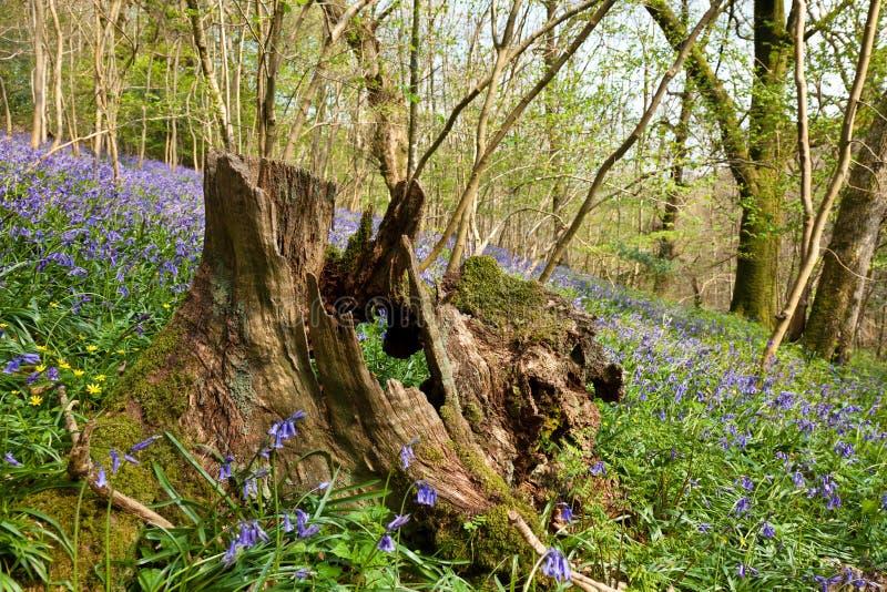 Tronçon dans le bois de Bluebell photographie stock