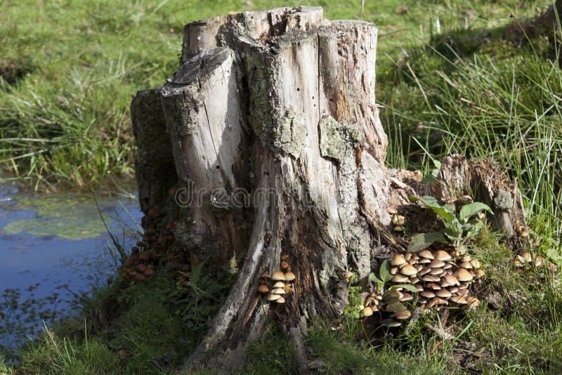Tronçon de champignon et d'arbre photos libres de droits