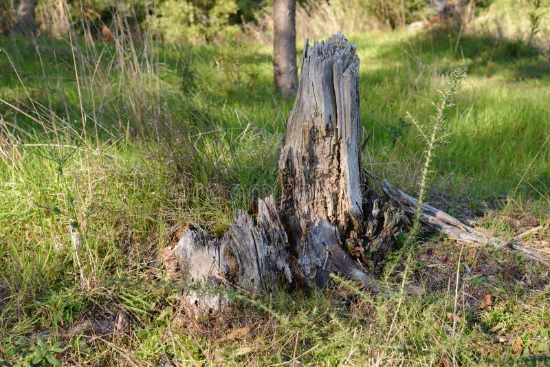 Tronçon de chaume dans les bois en gros plan photographie stock libre de droits
