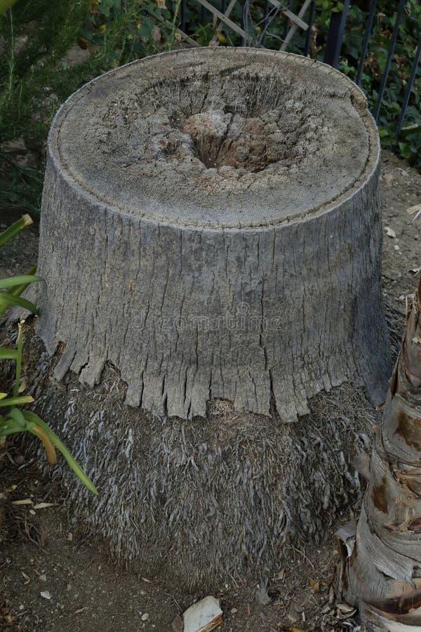 Tronçon de palmier photographie stock libre de droits
