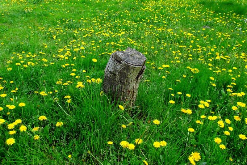 Tronçon isolé dans l'herbe verte et l'acrpet des pissenlits image libre de droits
