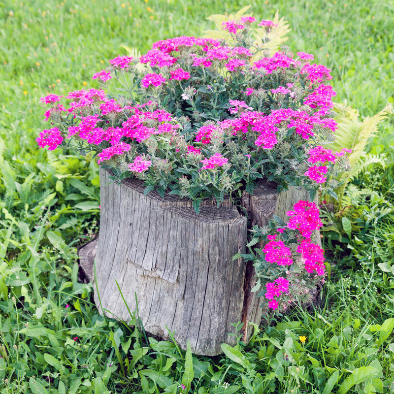 Tronçon putréfié et fleurs de floraison images libres de droits
