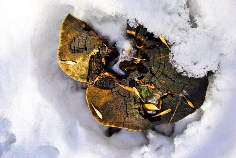 Tronçon scié pararbre étrange avec des graines d'acer sur le pré neigeux photo libre de droits