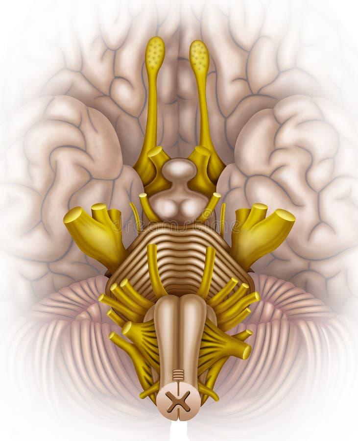 Tronc cérébral illustration stock