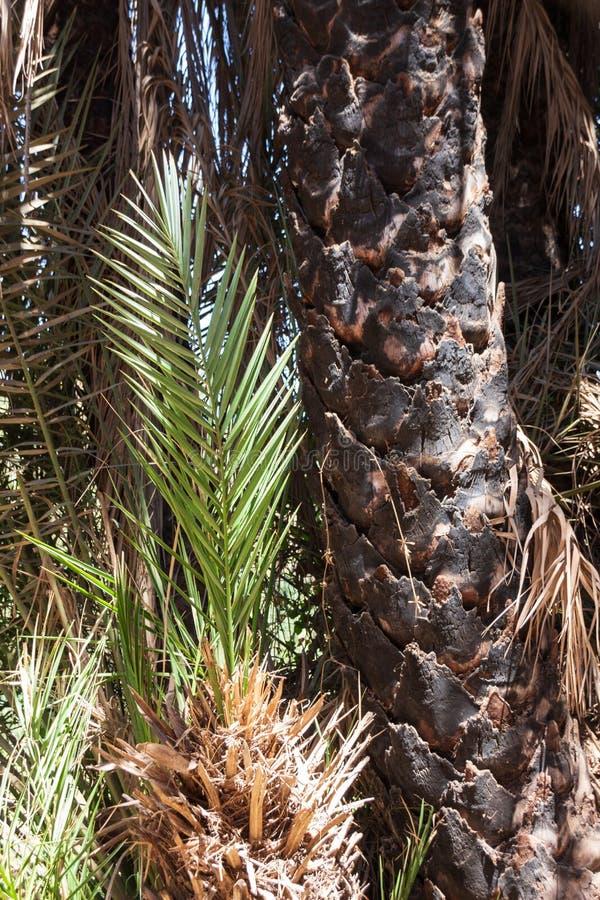 Tronc carbonisé d'un palmier en raison d'attaque fongique photos libres de droits