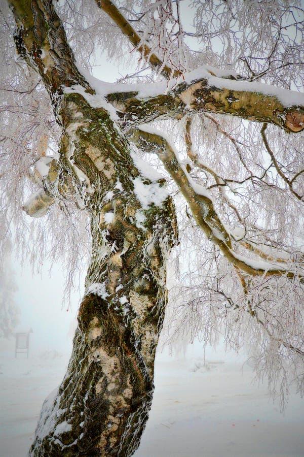Tronc congelé, neigeux et tordu de bouleau image libre de droits