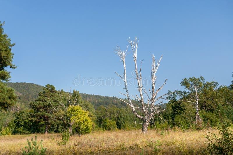 Tronc dénudé de bouleau blanc avec des branches sur le fond de la végétation verte luxuriante et du ciel bleu image libre de droits