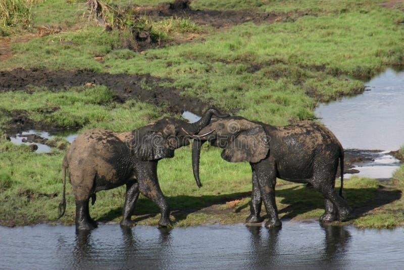 Tronc d'éléphant luttant photos libres de droits
