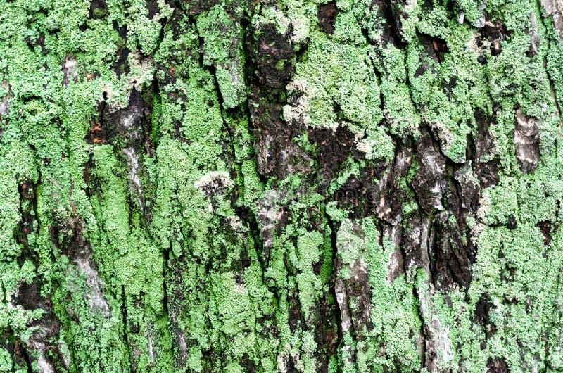 Tronc d'érable en bois avec mousse verte images stock