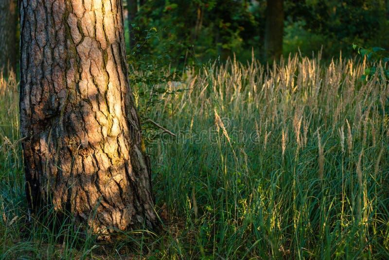 Tronc d'arbre à la lumière du coucher de soleil photo libre de droits