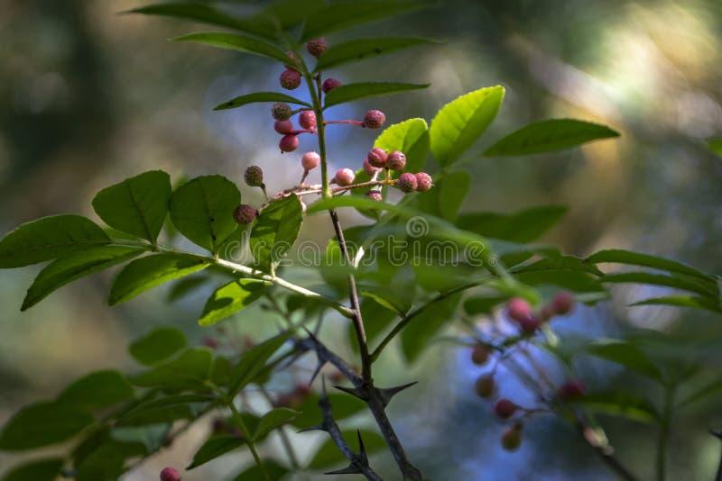 Tronc d'arbre épineux d'americanum de zanthoxylum, cendre épineuse Plan rapproché dans le sunligh naturel image libre de droits