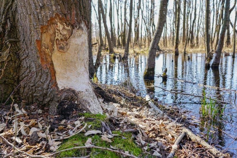 Tronc d'arbre avec des marques des dents de castor le jour ensoleill? photo libre de droits