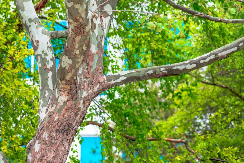 Tronc d'arbre dans la ville de San Jose images stock