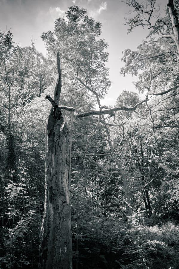Download Tronc D'arbre Dans Une Forêt Image stock - Image du boisé, rural: 76081347
