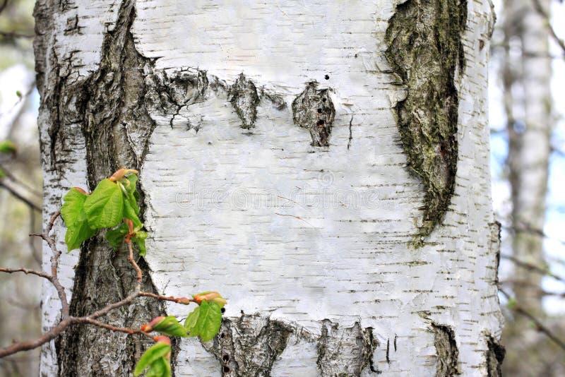 Tronc d'arbre de bouleau avec le plan rapproché noir et blanc d'écorce de bouleau dans le verger de bouleau pour le texte de féli images libres de droits
