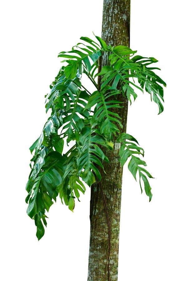 Tronc d'arbre de jungle avec les usines tropicales de feuillage, le deliciosa s'élevant de Monstera Monstera et les feuilles de v image libre de droits