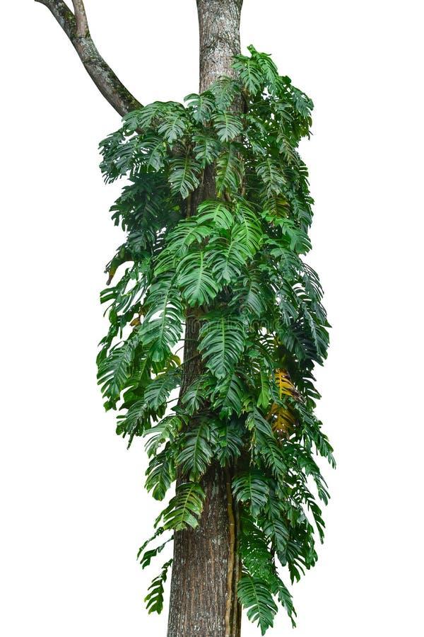 Tronc d'arbre de jungle avec les usines tropicales de feuillage, le deliciosa s'élevant de Monstera Monstera et les feuilles de v photographie stock