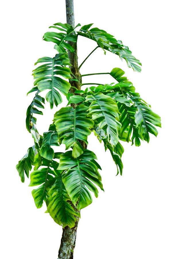 Tronc d'arbre de jungle avec les usines tropicales de feuillage, le deliciosa s'élevant de Monstera Monstera et les feuilles de v photo libre de droits