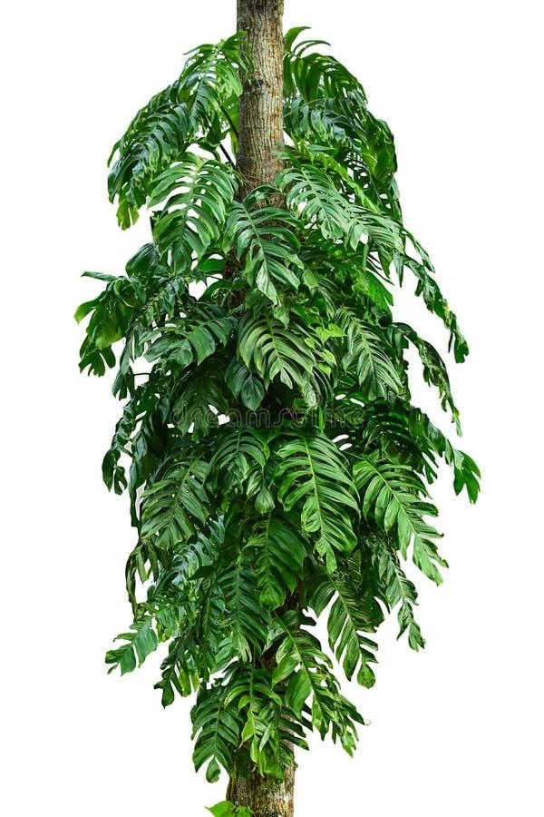 Tronc d'arbre de jungle avec les usines tropicales de feuillage, le deliciosa s'élevant de Monstera Monstera et les feuilles de v photos stock