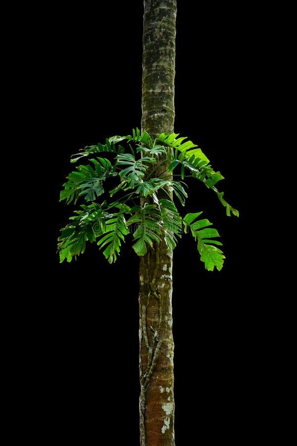Tronc d'arbre de jungle avec les usines tropicales de feuillage, le deliciosa s'élevant de Monstera Monstera et les feuilles de v photos libres de droits