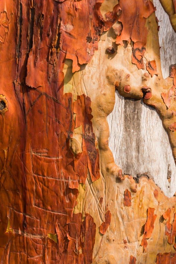 Tronc d'arbre de madrona d'épluchage avec le graffiti découpé photographie stock