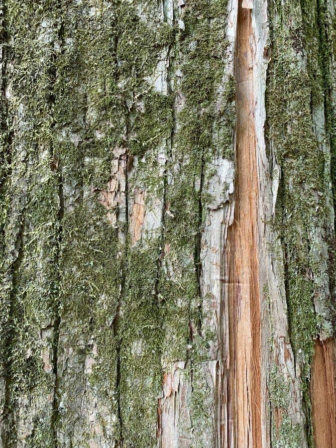 Tronc d'arbre et fond de MOS photo stock